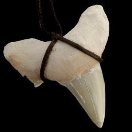 Diente de Tiburon fosilizado. Grande